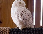 Wildlife haven has snowy owl on mend after it