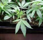Medical marijuana production begins in Illinois