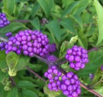 Fall is a great time to plant shrubs