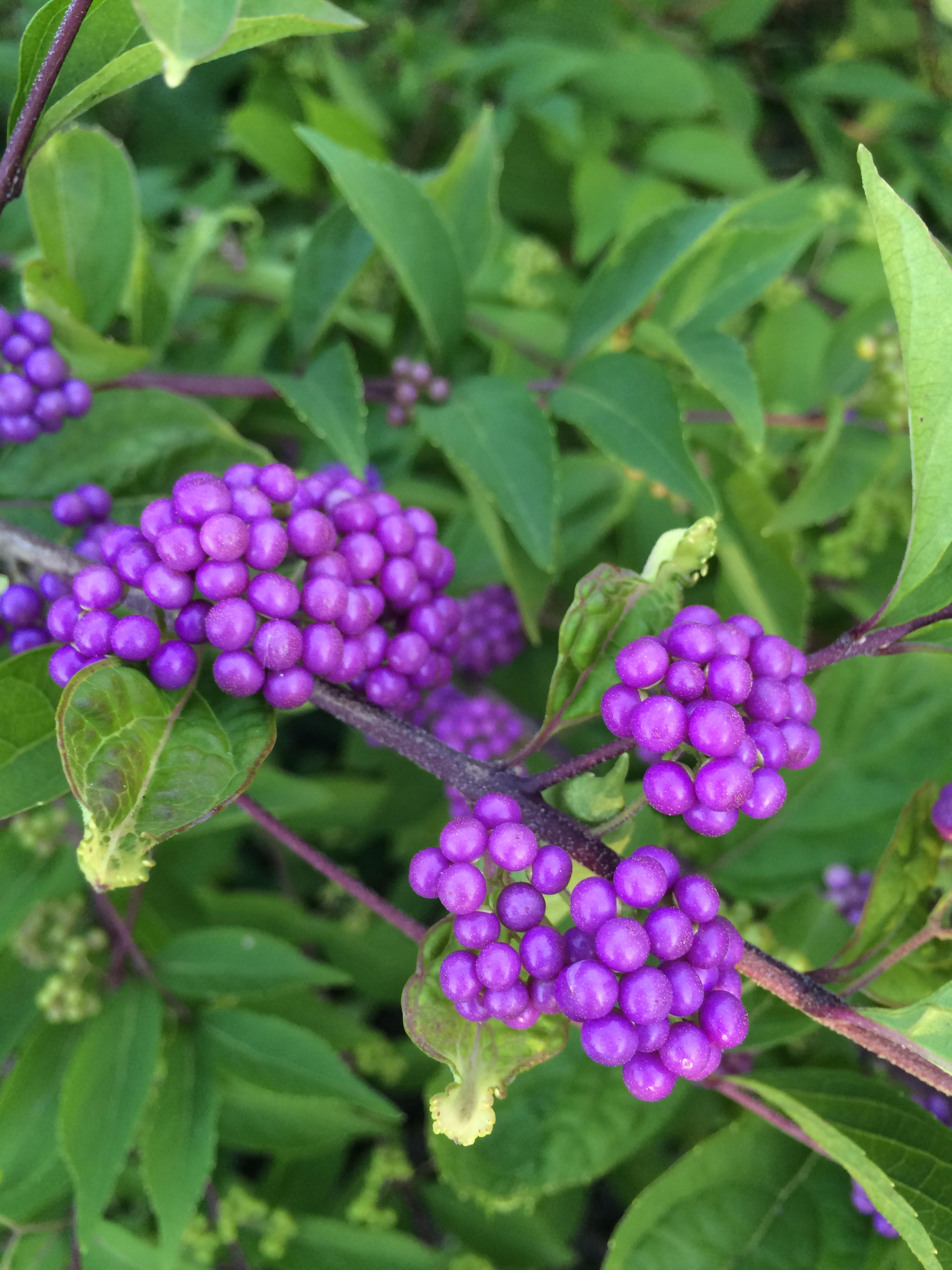 Shrubs to plant in fall - Shrubs To Plant In Fall 54
