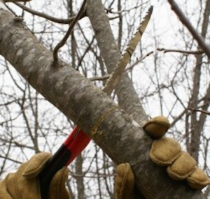 : Pruning trees in the fall can encourages new growth, but waiting too long into the winter can cause difficulties for the gardener and the tree, according to horticulture educators. (Photo University of Maine Extension)