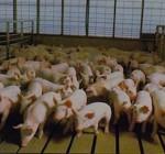 Economist: Nation's pork industry faces tight margin year