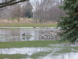 Whenever Walnut Creek floods, the golf course in Eureka is a lake. The flood of Dec. 28-29 had receded some when this picture was taken of geese wading about where golfers play in better weather. (Chronicle Media photo)