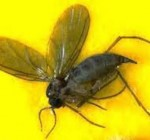 Kitchen gnats can thrive in winter because of houseplants
