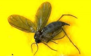 The ideal environment for fungus gnats is wet soil with high organic content. (Photo courtesy of University of Illinois Extension)