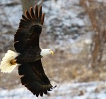Majestic bald eagles return in record numbers to Northern Illinois waterways
