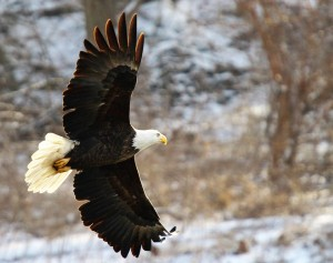 Oswego resident Donna Trinko recently photographed bald eagles flying along the Fox River in the Ottawa area earlier this month. (Photo by Donna Trinko/for Chronicle Media)