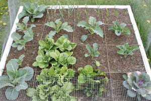 Square foot gardening utilizes a raised bed and grows vegetables in a compact 16-foot area. (Photo courtesy University of Illinois)