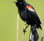 Sure sign of spring as Red Winged Blackbirds return to town
