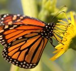 Statewide summit planned on monarch butterfly conservation