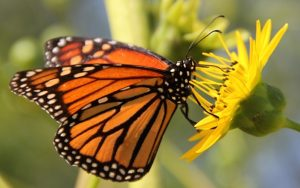 The Illinois Department of Natural Resources is looking to coordinate monarch butterfly efforts happening throughout the state.  (Photo courtesy IDNR)