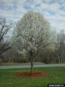 Home 080316 pear tree PHOTO