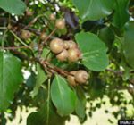 The pluses, and minuses, of popular pear tree