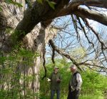 McHenry Conservancy looks to purchase property to save 300-year-old tree