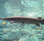 Alligator gar reintroduction will improve Illinois waterways