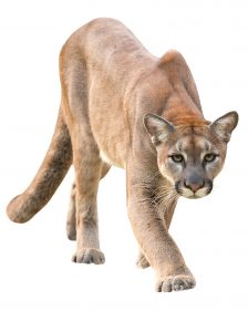 Cougars spottings occur a few times a year in areas throughout Illinois, but wildlife experts reassure residents they are not a real threat in the Northern Illinois suburban regions.