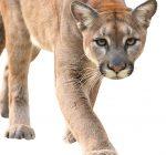 Despite recent suburban sightings, wildlife experts say predators not on the prowl