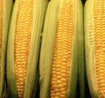 Peeling back the secrets of summertime sweet corn