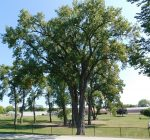 Aurora seeks trees of significance for registry