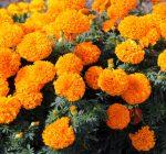 Marigolds on Patrol theme of annual Pekin festival