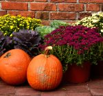 From pumpkins to mums – how to pick fall favorites and help them last