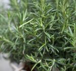 Rosemary plants are a gift of love and remembrance
