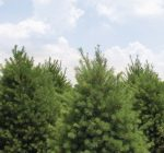 Experts: Finding perfect holiday tree a matter of style, space