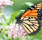 Garden club leading Illinois monarch recovery