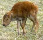 Fermilab welcomes arrival of bison babies