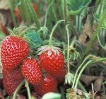 Go fresh and grow your own strawberries