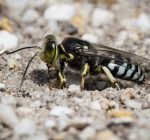 Burrowing bees and wasps return to parks, beaches
