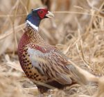 State opens applications for pheasant hunting online