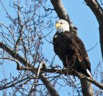 Winter outings: It's eagle viewing season along Illinois rivers