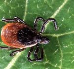 Deer ticks still a concern with warm winter