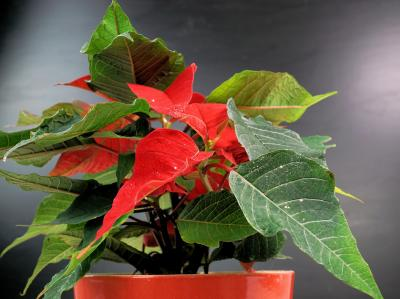Caring for poinsettias after the holidays