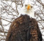 Chillicothe's Bald Eagle Celebration raises funds for local projects