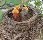IDNR: Don't handle young birds, wildlife during breeding season