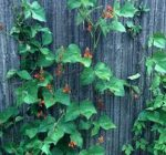 Flowering vines can add color and dimension to home gardens