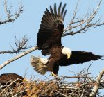 Eagle dad at Mooseheart steps up to feed, care for eaglets