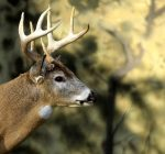 Drivers urged to take extra caution for deer