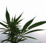 Attempt to stall Chicago marijuana sales falls short
