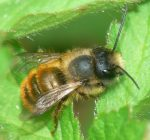 The role the native Mason bees plays and how to support them