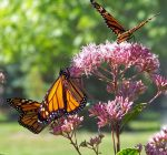 Project acts on protecting Illinois' monarchs