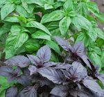 Growing basil in your backyard