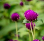 Find beauty in your home garden during 'dog days' of August