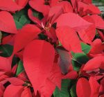 Keep poinsettias plentiful long after the holidays