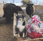 R.F.D. NEWS & VIEWS: Illinois collie one of US' top farm dogs