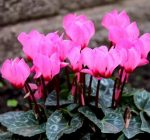 Instead of bouquets, try blooming plants for Valentine's Day 