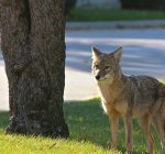County warns about keeping pets safe during coyote mating season