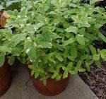Small-batch culinary herbs add flavor to gardening menu